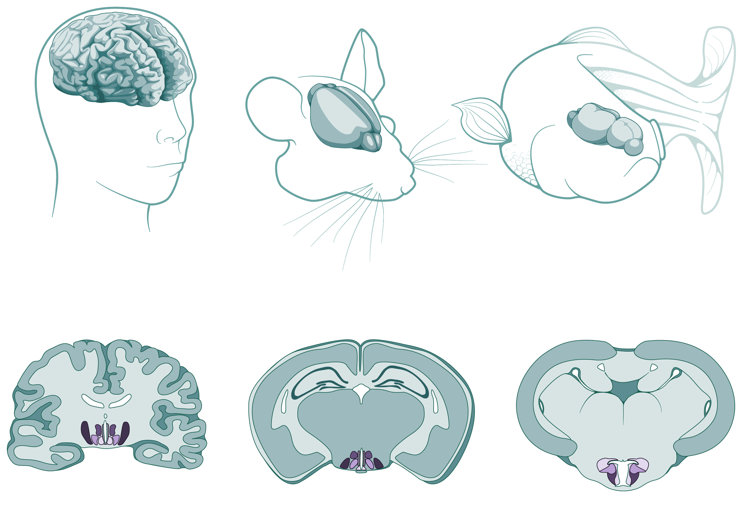 Comparison illustration of the hypothalamus in a human, mouse and zebra fish brain