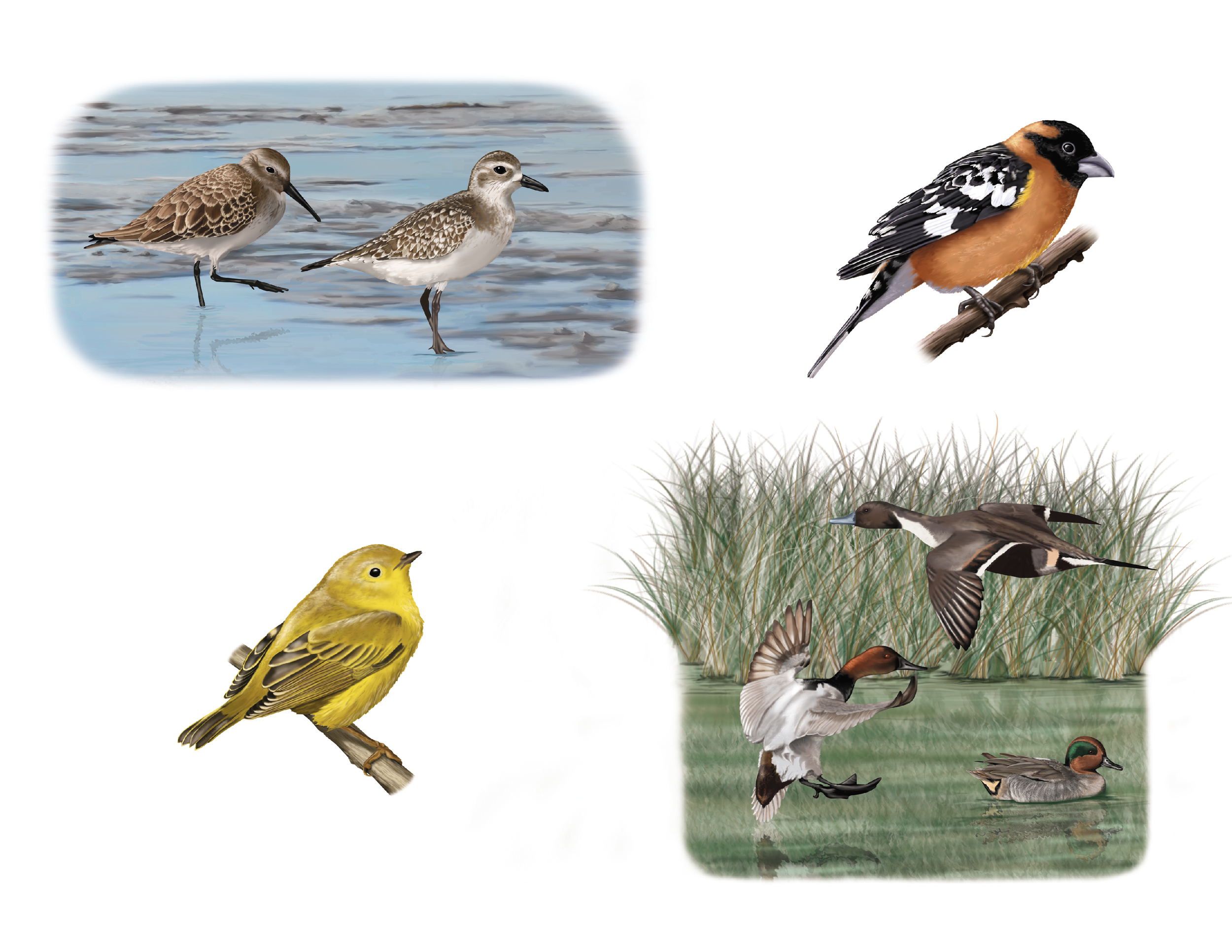 Migratory birds of California