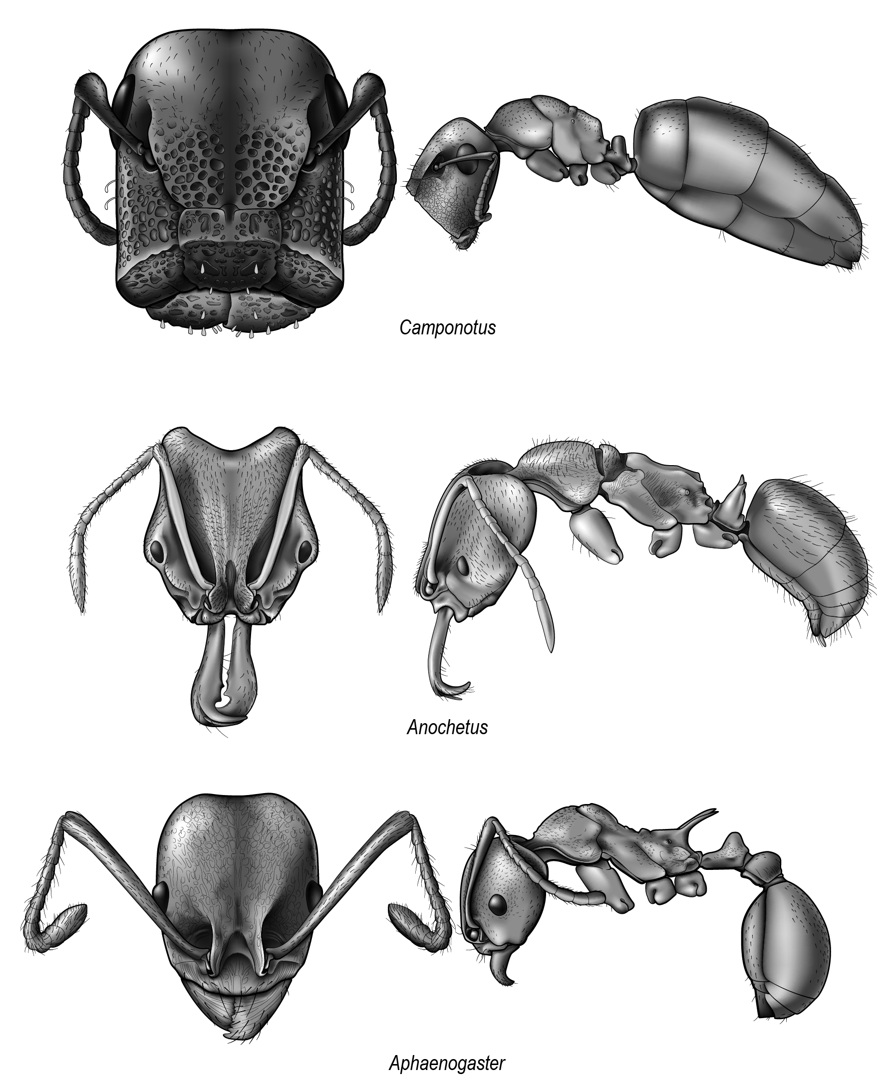 Head and profile of North American ants