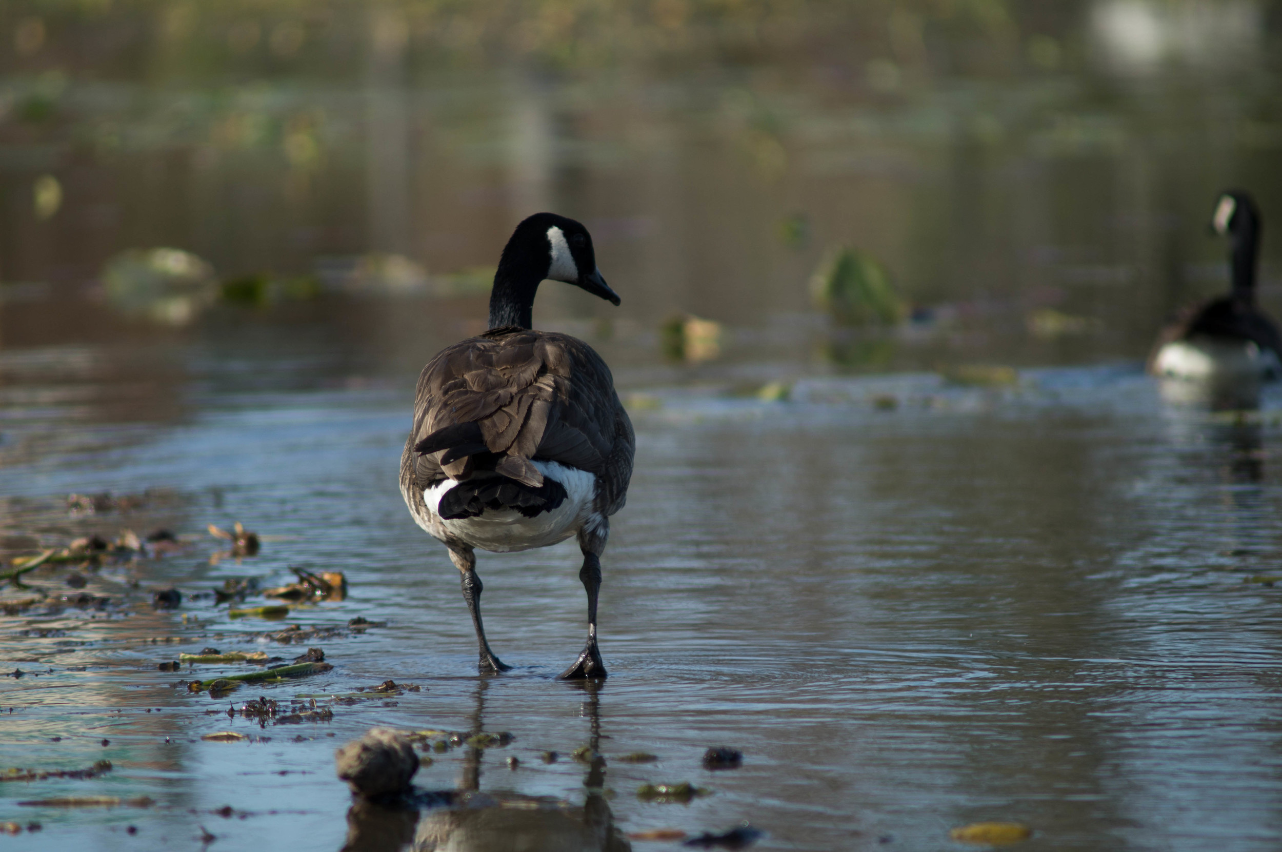 canadian-goose-on-water