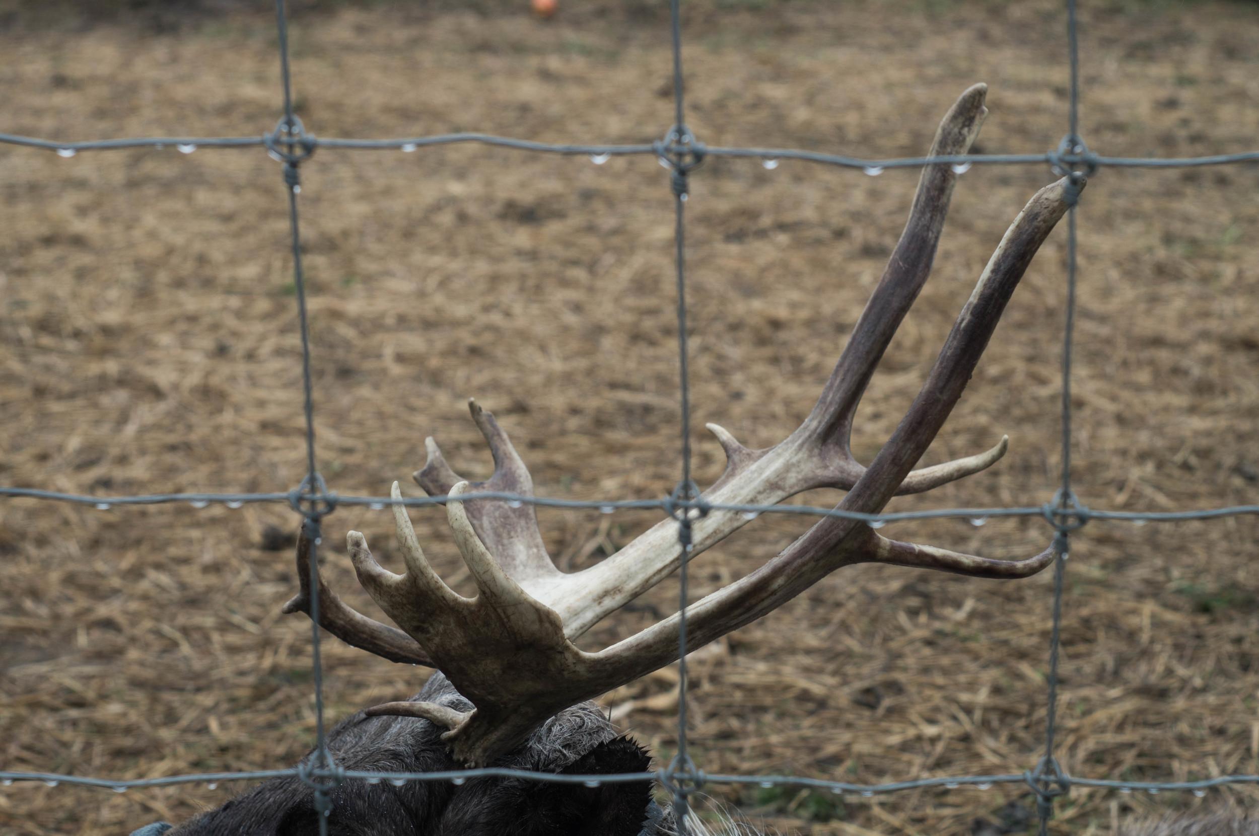 reindeer-antlers