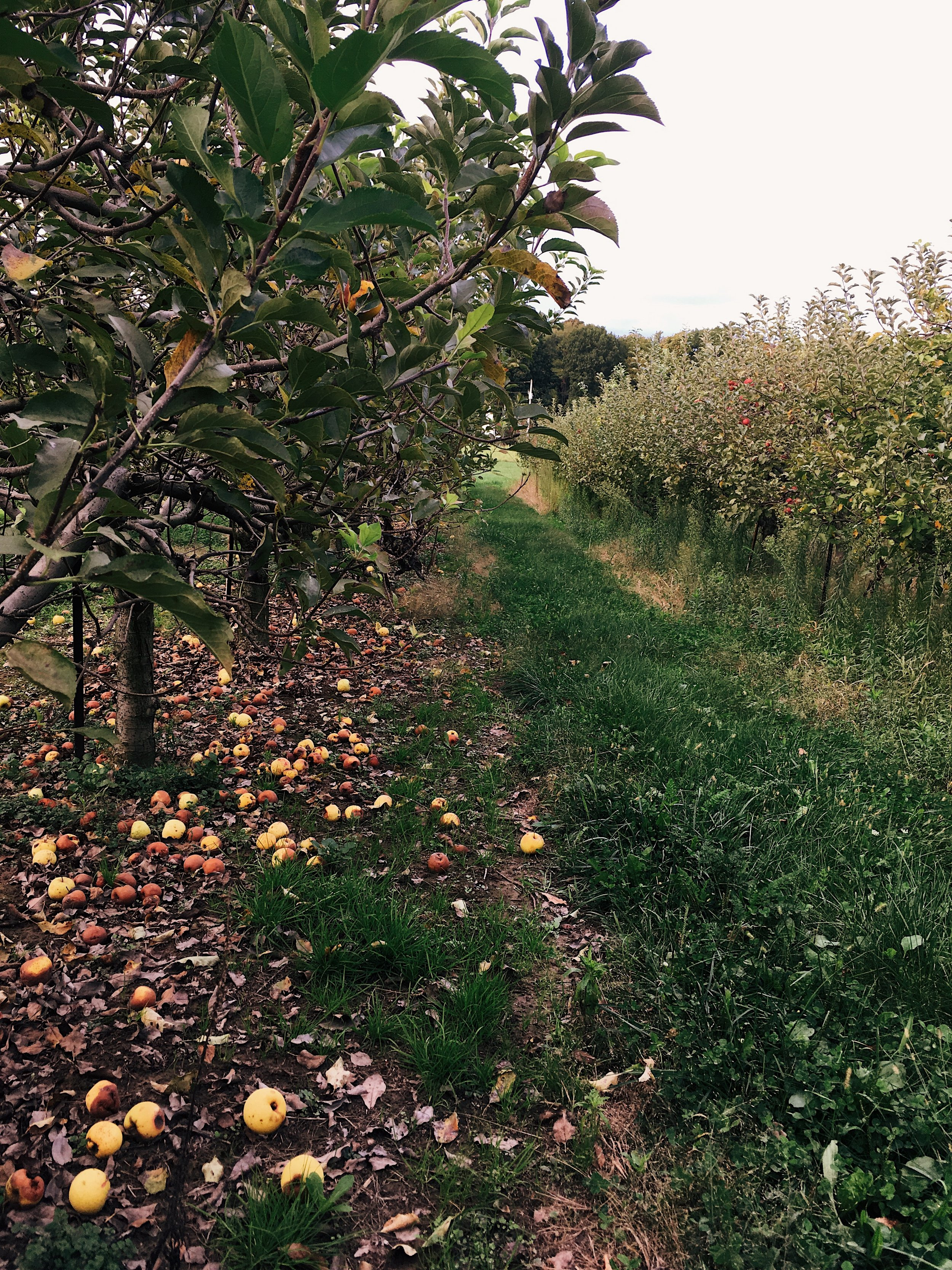 Apple Orchard Ohio Organic Image by Samantha Spigos