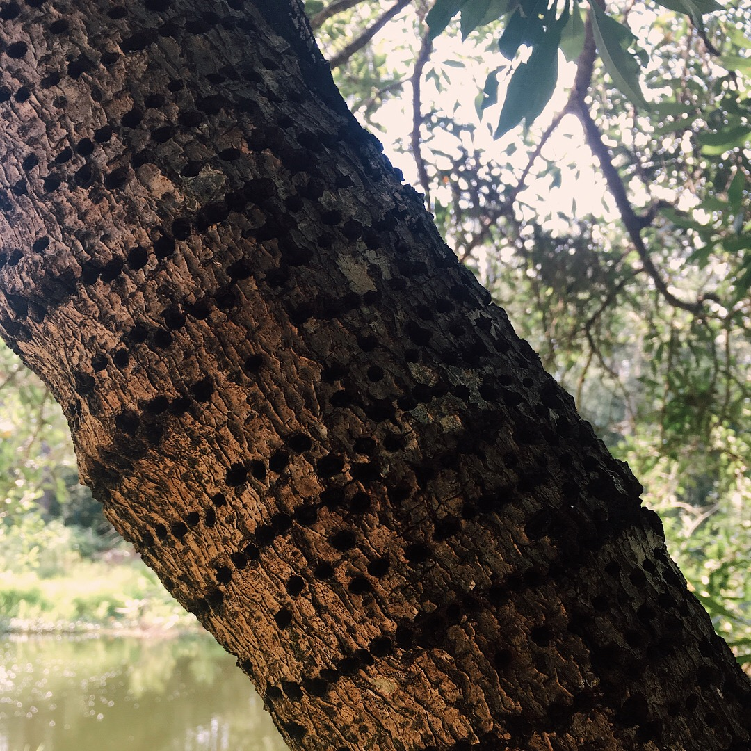 woodpecker damage to a swamp tree by samantha spigos
