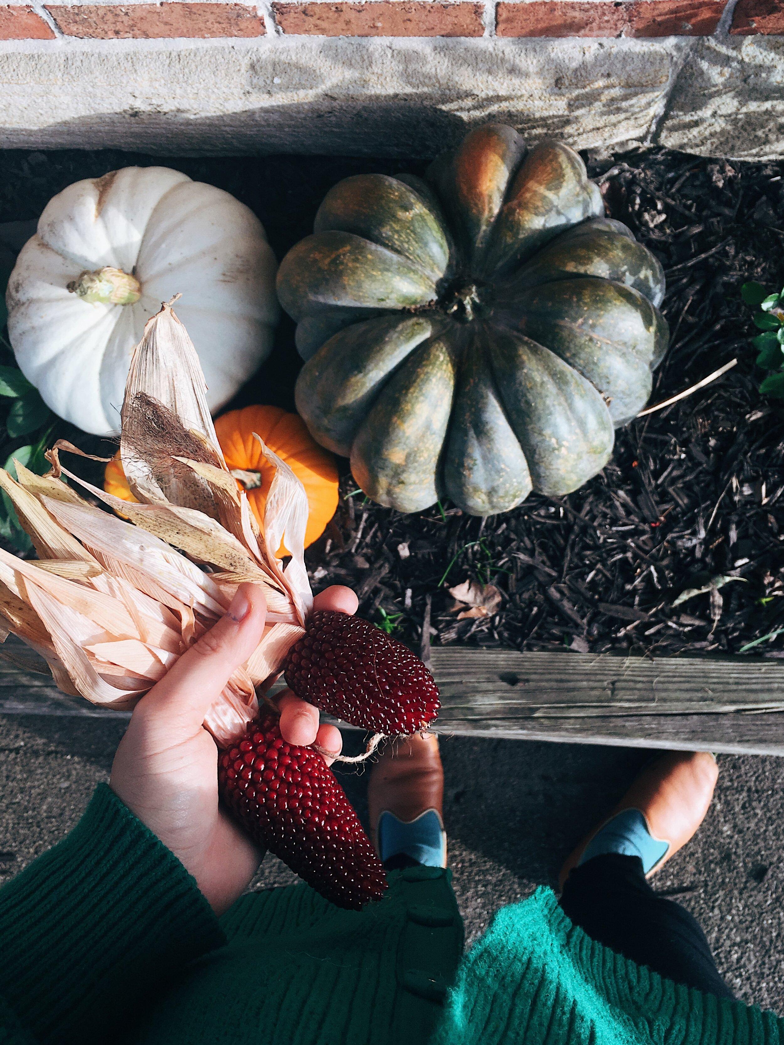 heirloom pumpkins and dent corn autumn in ohio by samantha spigos