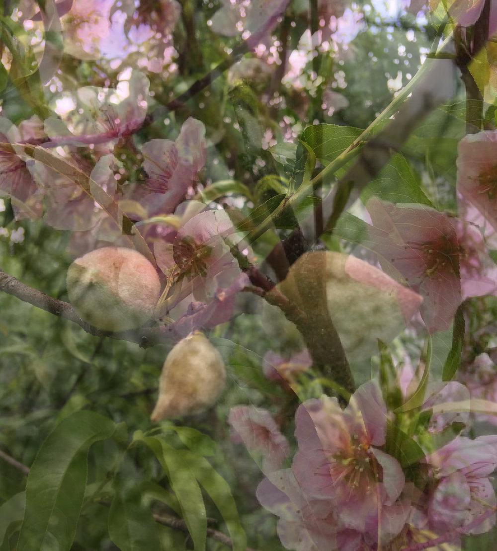 our_peach_tree_blooms_fruit-01.jpg