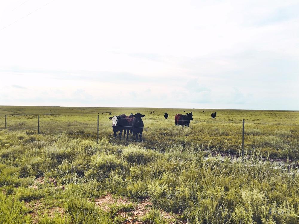 Curious bovines wander closer and closer.