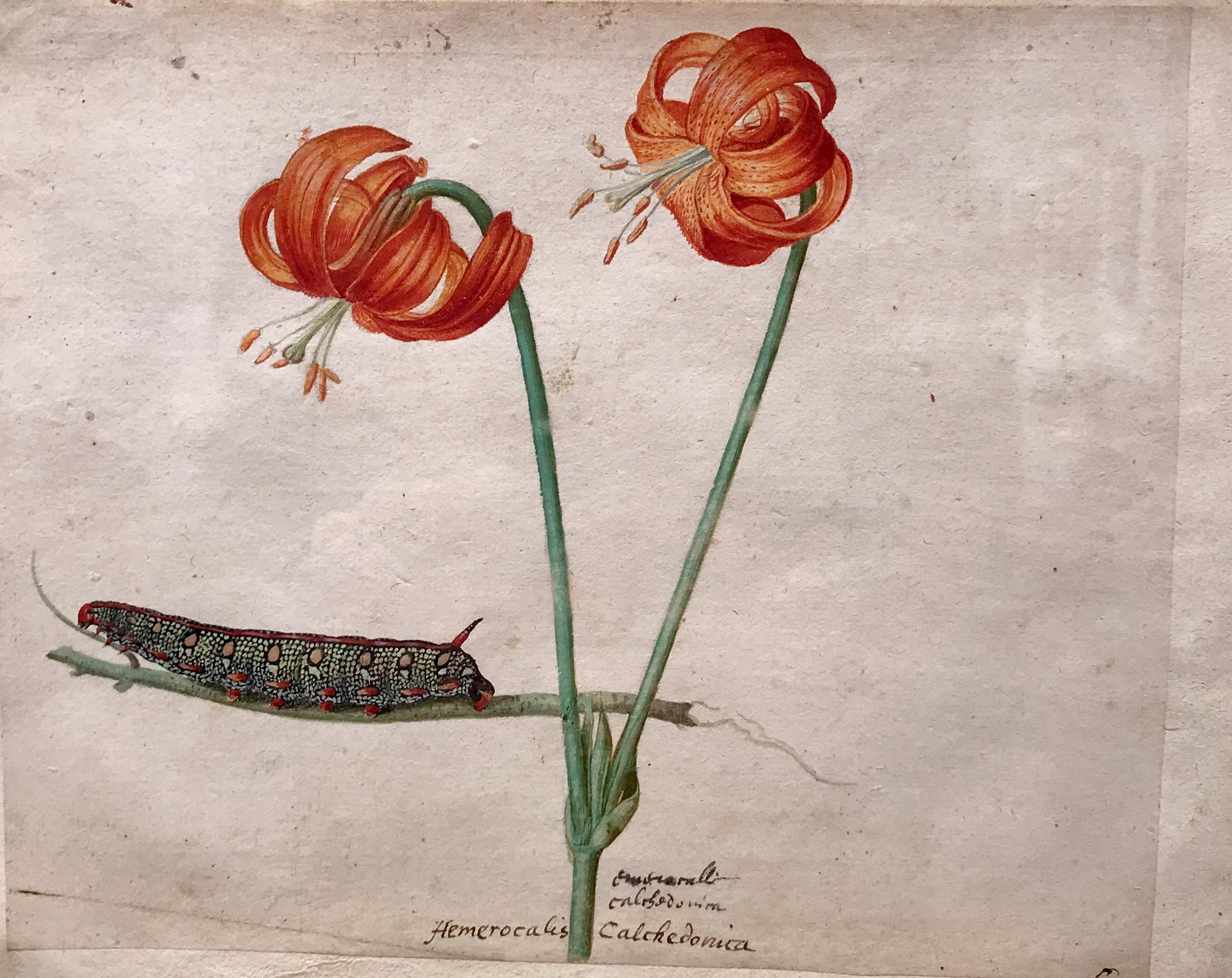 - Jacques Le Moyne de Morgues (Dieppe ca. 1533-1588 London)Two day lilies and a caterpillar