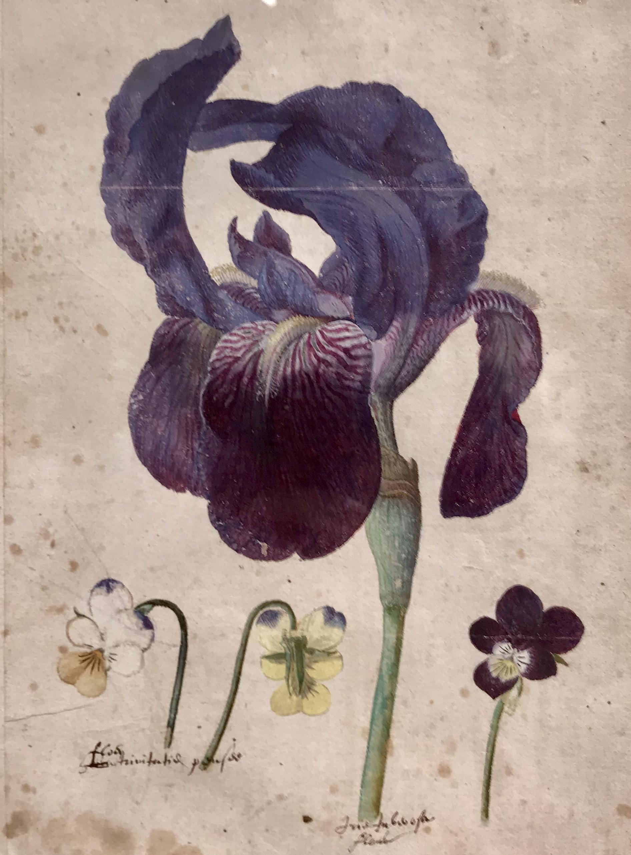 - Jacques Le Moyne de Morgues (Dieppe ca. 1533-1588 London)A bearded iris and three violets