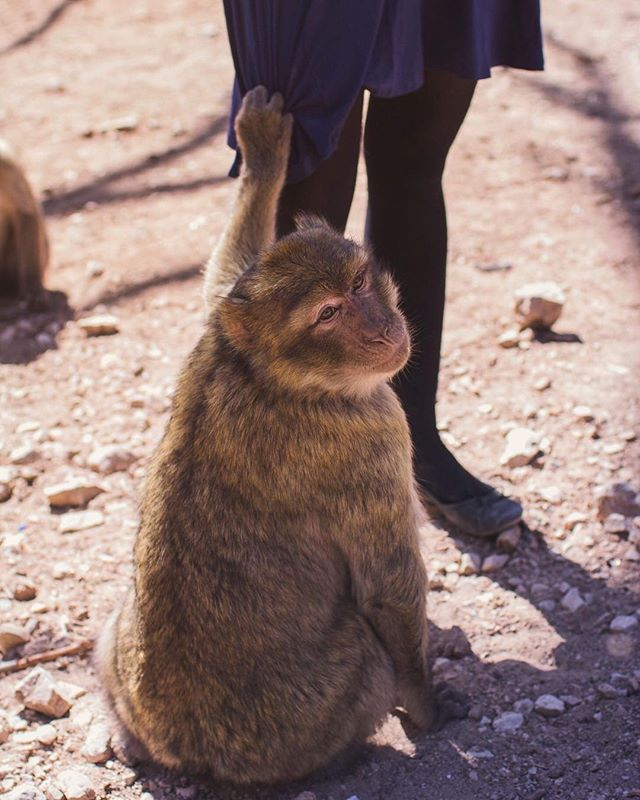 We also visited the Cèdre Gouraud Forest where this #barbarymacaque wouldn't let go of @kivkat because she had the food.