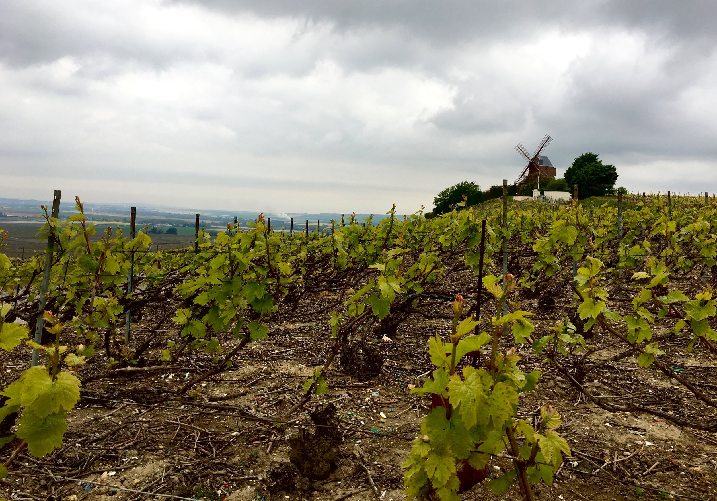 chablis-trained vines