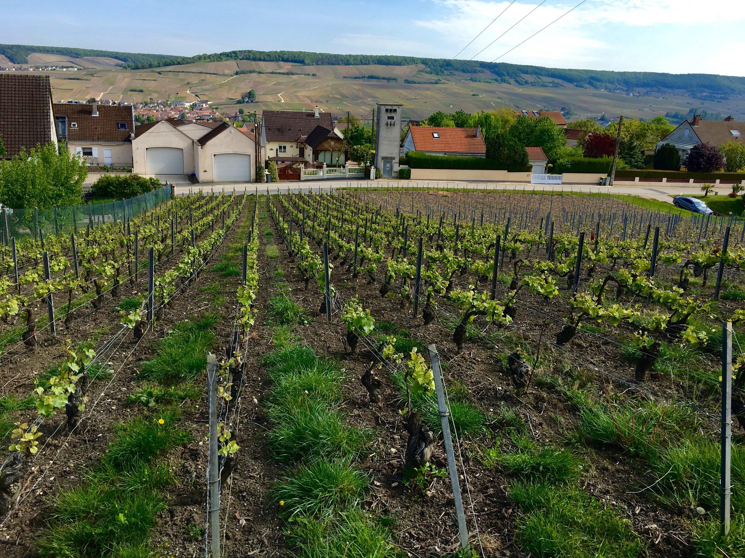 pinot noir plot just above winery