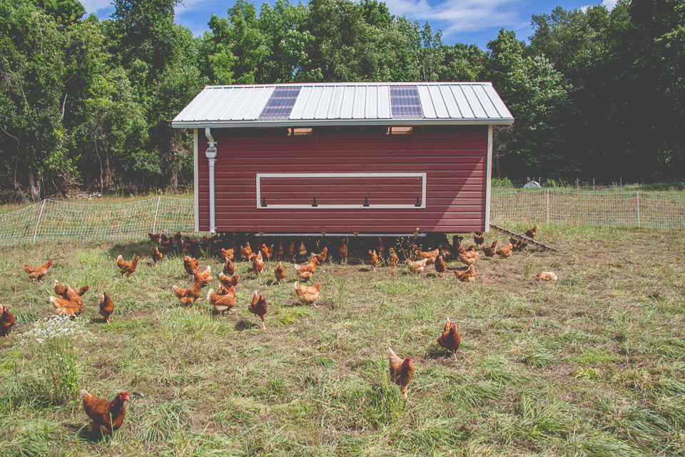 Our laying hens spend their lives in the egg mobile, which moves all around our farm.
