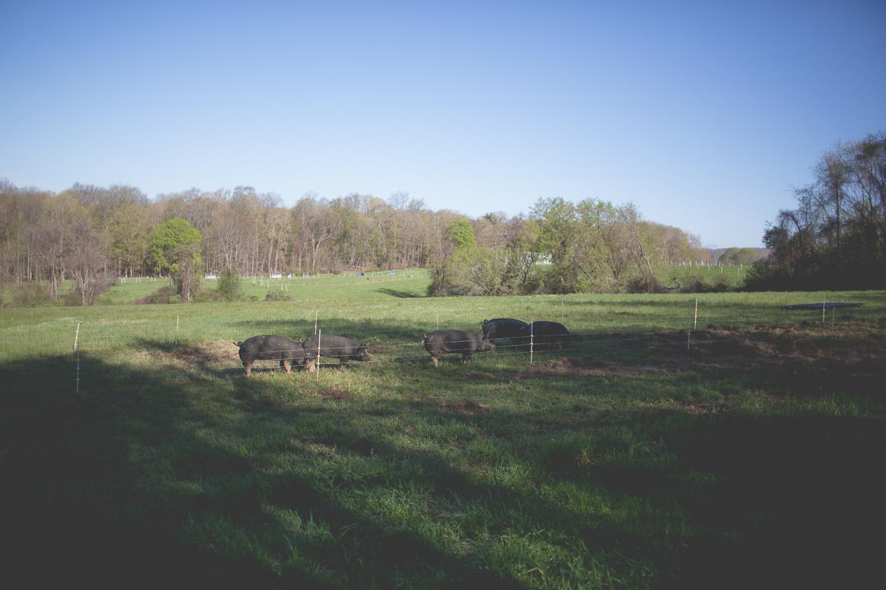 Pigs Q Farms
