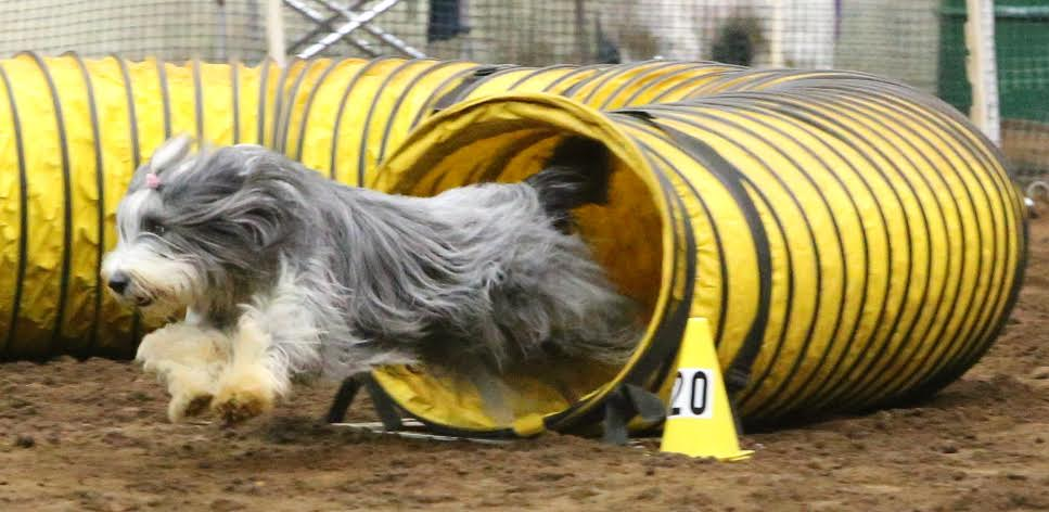 bearded collie national champion