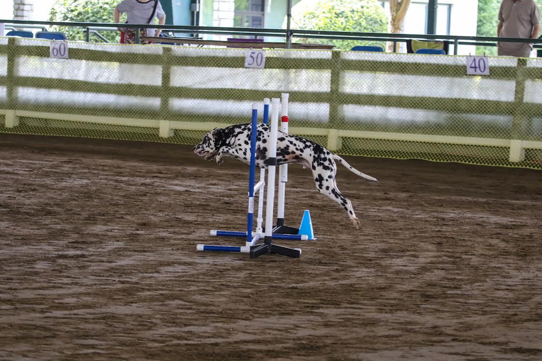 dalmation jumping hurdles