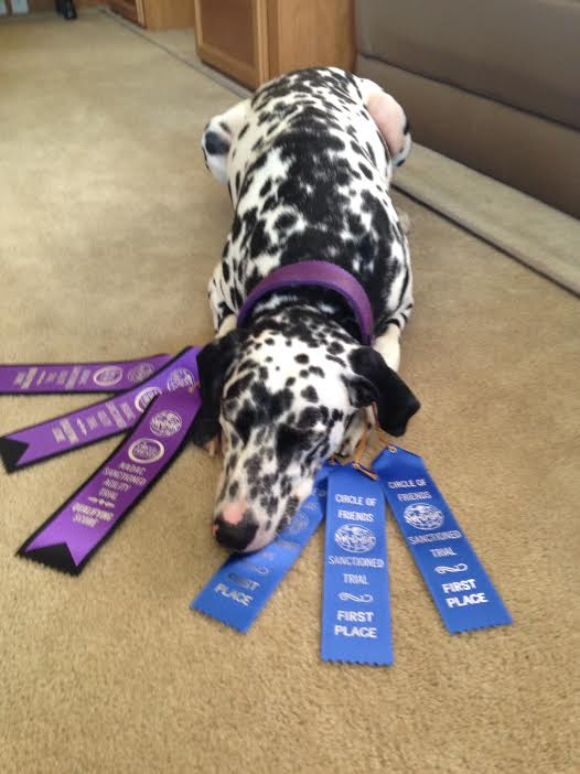 dalmation with ribbons