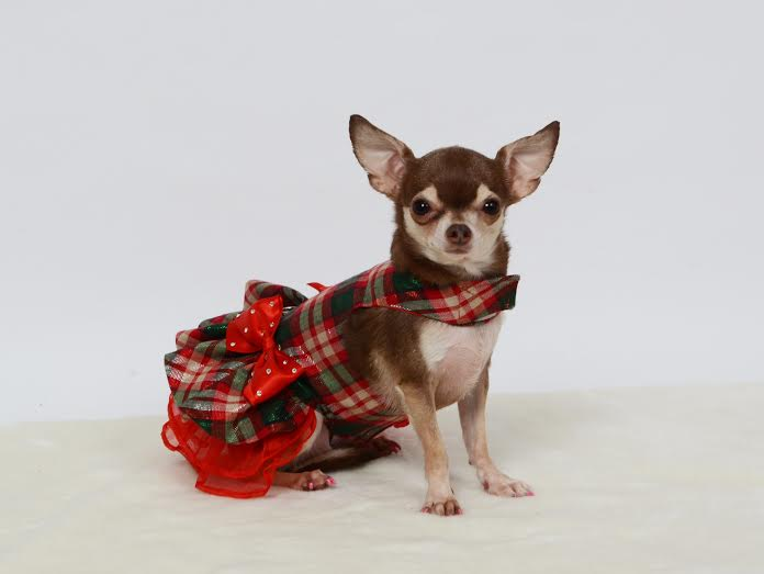 chihuahua in plaid