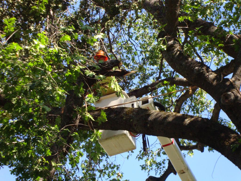 tree-trimming-bucket-truck-morgan-tree-service-paradise-oroville-chico-northern-california_full.jpeg