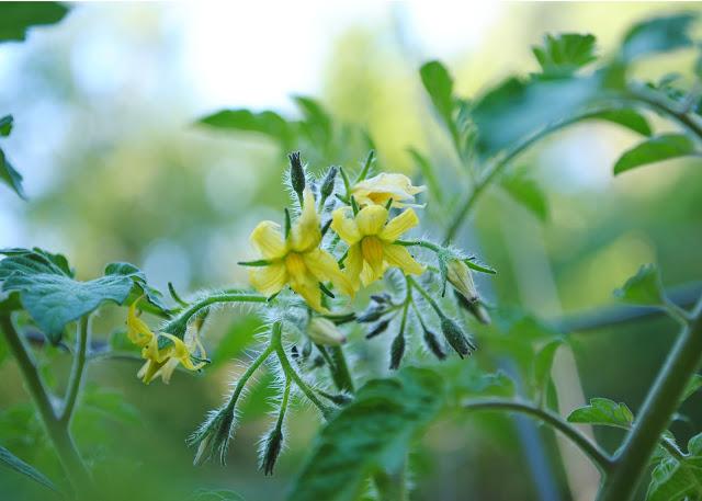 Tomato%2Bflowers.jpg