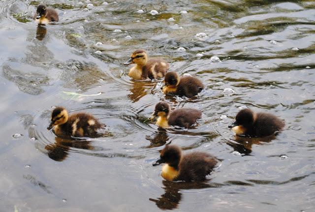 Ducklings%2B3.jpg