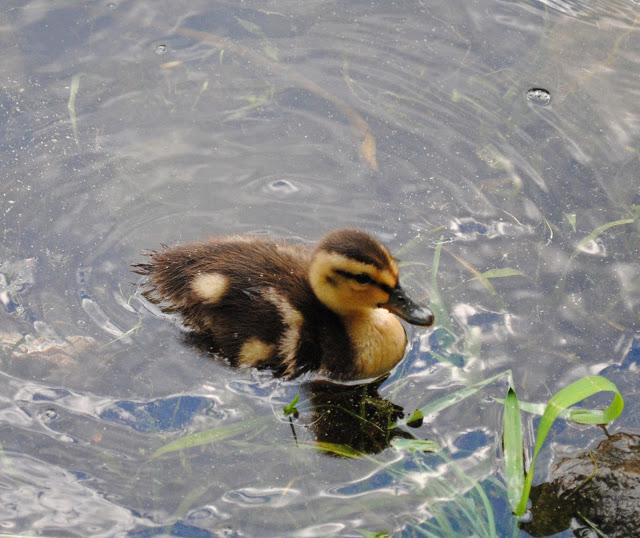 Ducklings%2B2.jpg
