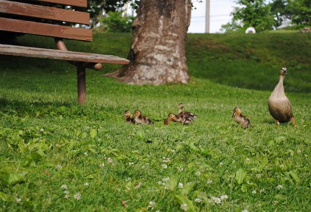 Ducklings%2B12.jpg