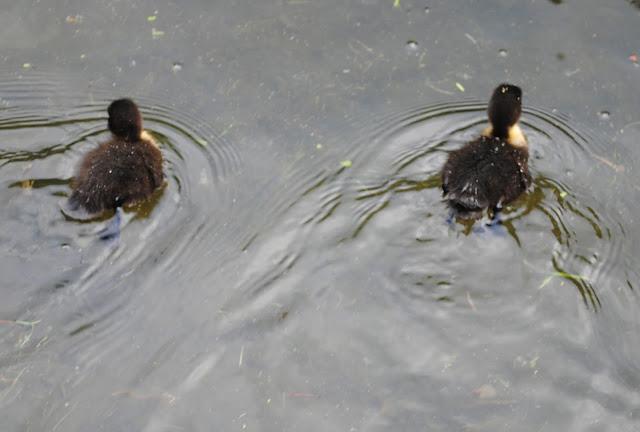 Ducklings%2B8.jpg