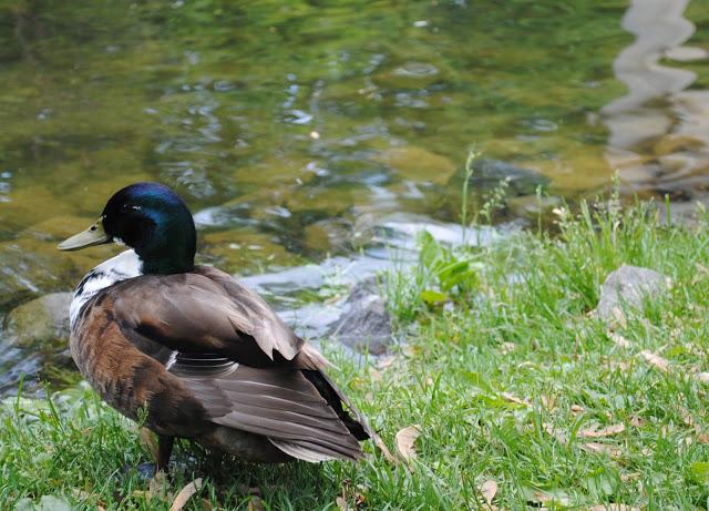 Ducklings%2B9.jpg