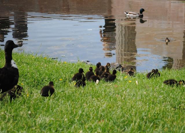 Ducklings%2B7.jpg