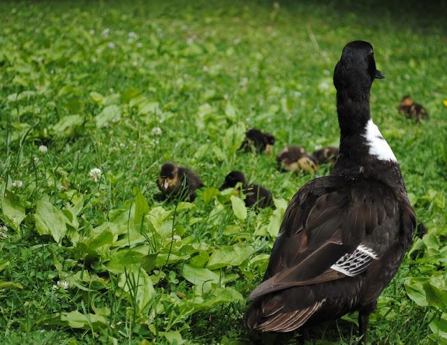 Ducklings%2B4.jpg