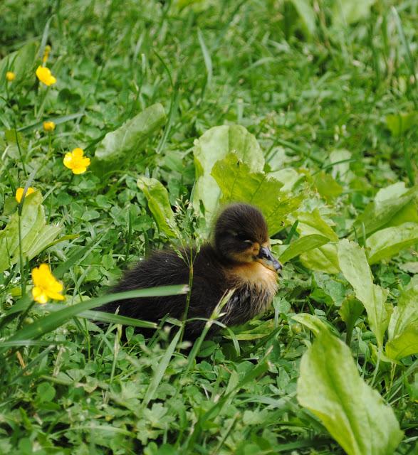 Ducklings%2B5.jpg