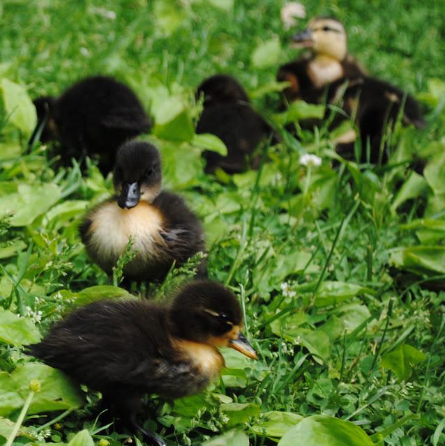 Ducklings%2B17.jpg