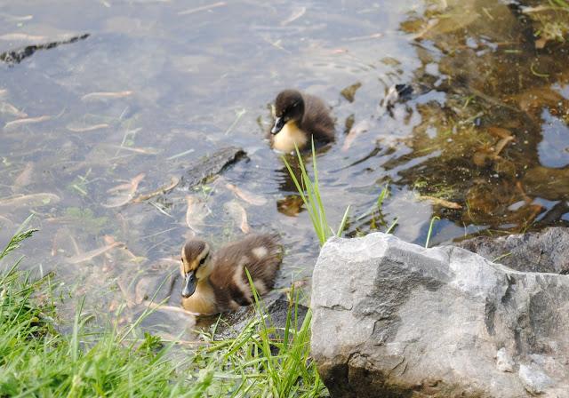 Ducklings%2B18.jpg