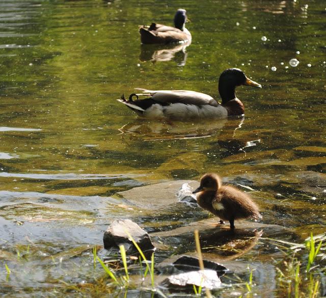 Ducklings%2B15.jpg
