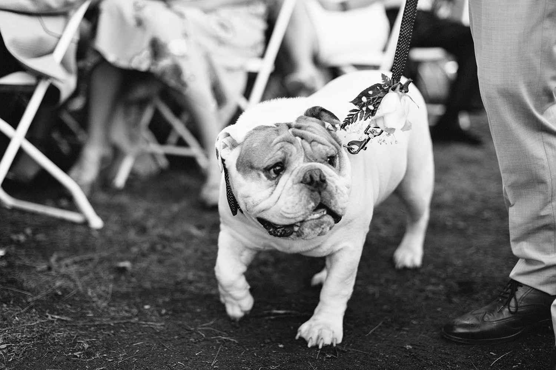 muskoka-wedding-photographer-toronto-wedding-photography-hidden-valley-resort-documentary-photojournalistic-fine-art-wedding-photography-lakeside-ceremony-cottage-country-bulldog-puppy-dog-walking-down-the-aisle-bw.jpg