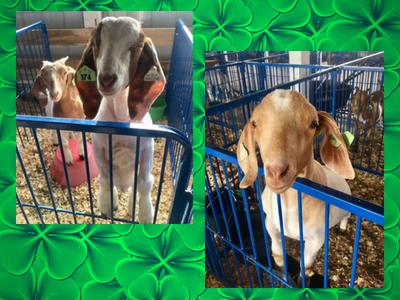 friendly-fair-goats.png