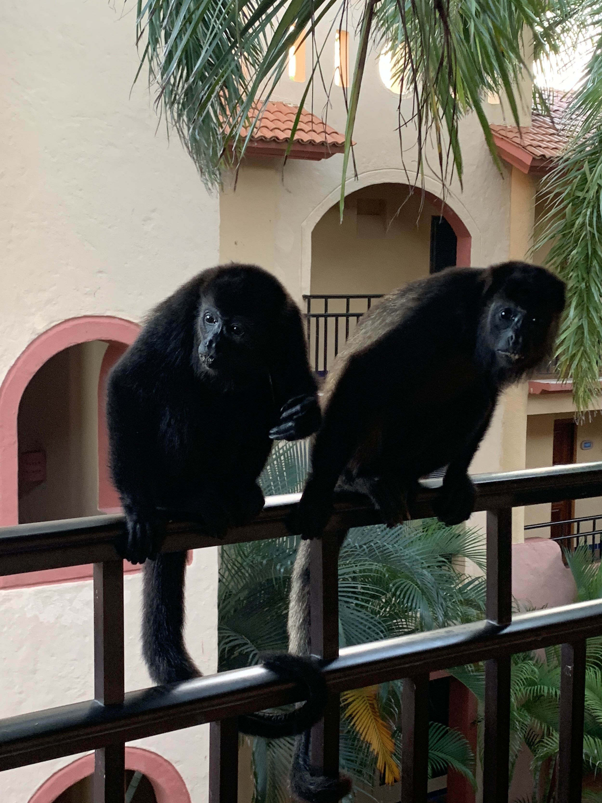 Some monkeys outside of our room!