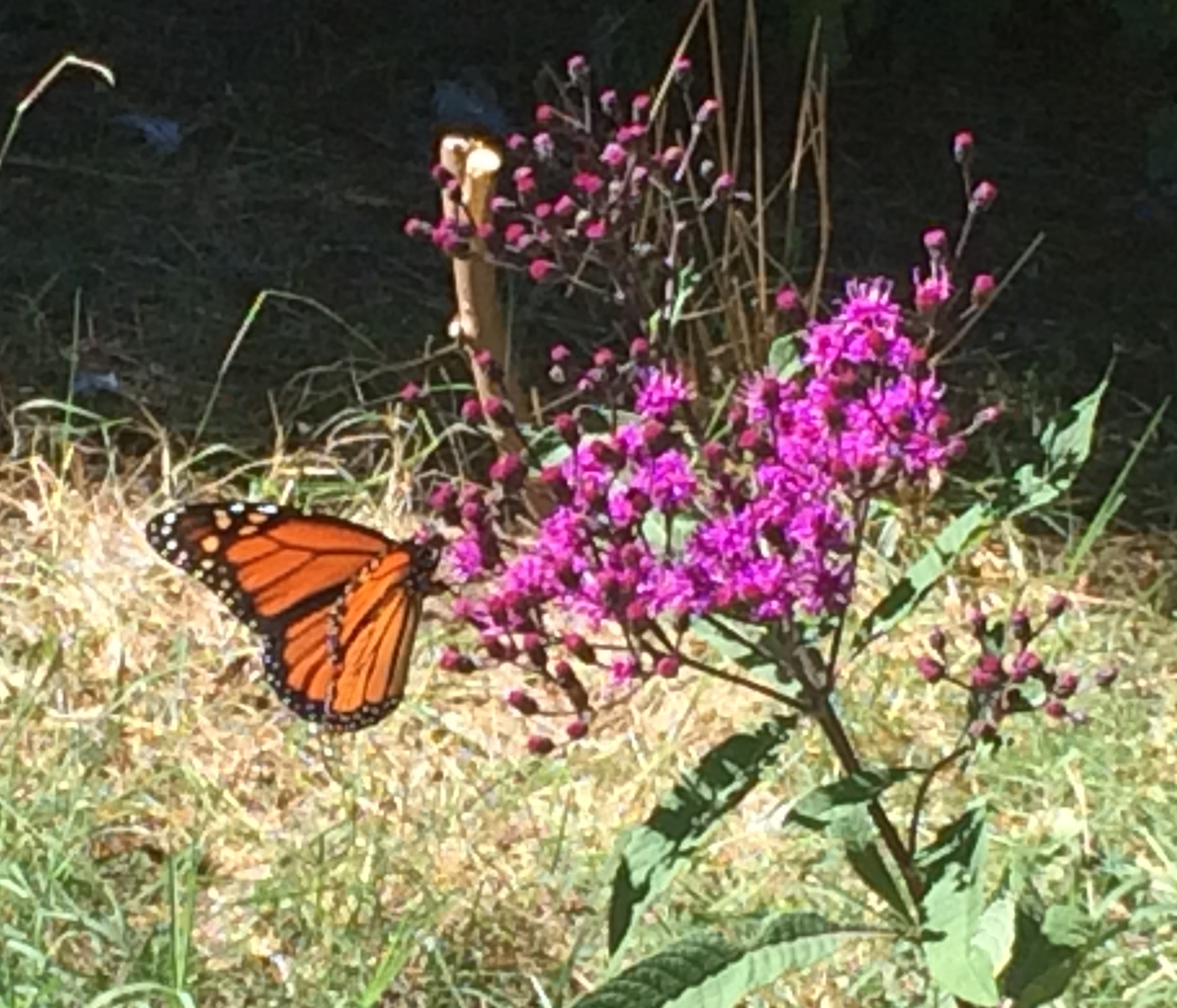 Butterfly Garden - Butterfly Garden (c. 2016): Thanks to a generous Arbor Day and KU Plant for the Planet Grant, MMSK developed a butterfly garden across the stream from the school building. The garden was established to help attract pollinators like butterflies and moths, since many natural butterfly habitats have been lost to human activities like building homes, roads and farms. Plants were carefully selected for their attractiveness to butterflies and bees, as well as for their ability to serve as food for growing caterpillars and adult butterflies. The placement of the butterfly garden between the stream and the orchard was intentional with the goal of attracting our own honey bees and other pollinators towards the apple orchard to assist with pollination. The CMS-MMSK Butterfly Garden was certified through Monarch Watch (monarchwatch.org/) in 2017.