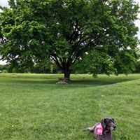 American Elm Tree - Historic American Elm Tree (circa 1920): In February 2016, the MMSK algebra students adopted the Elm Tree on Stone Road through the University of Kentucky's tree adoption program [https://ukntrees.ca.uky.edu/adopt-a-tree/montessouri-1]. This tree escaped the blight which affected elms across our area due to its isolation from other elms. The students calculated some of the essential benefits to the environment of this nearly 100 year old tree which include: 1000 gallons of rainwater interception annually; 235 kilowatts per hour of energy conservation annually; 523 pounds of CO2 reduction annually; and over $139 in benefits to the neighborhood each year. We are delighted to preserve this tree and its legacy on our campus, even as we build onto the existing classrooms.