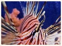 lionfish copy.jpg
