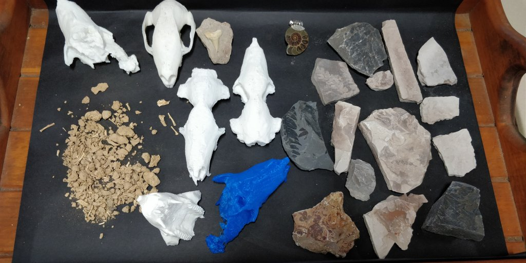 Bits of rock and bone, 3D-printed models of ancient kangaroo skulls, and a range of fossils are the essentials in Dr Butler's scicomm toolkit!