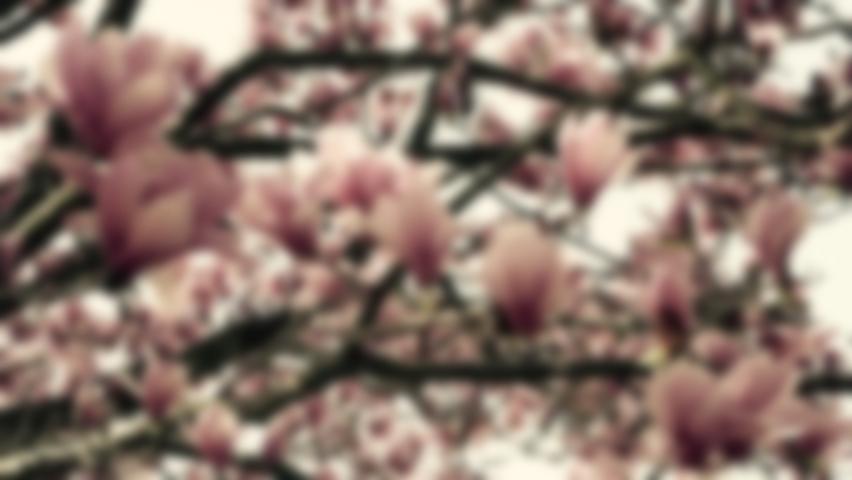 Ornatmental pink tulip magnolia tree (1).jpg