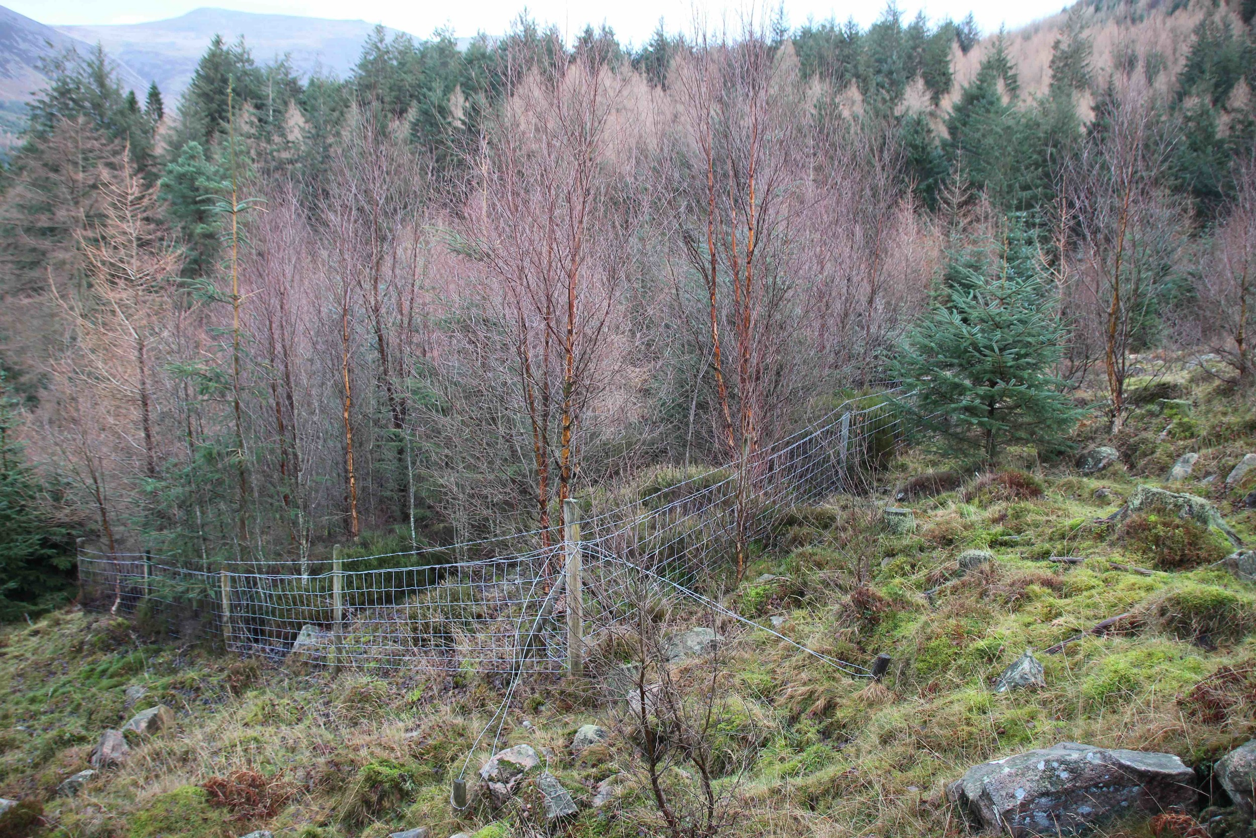 WIld Ennerdale work – this is how trees grow when sheep and deer – and even cattle – can't reach them