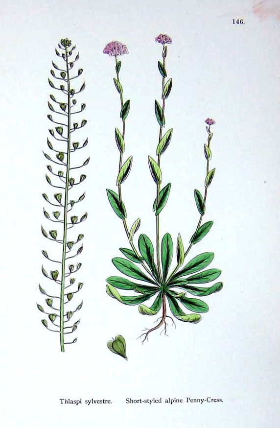 botanical drawing Pannycress.jpg