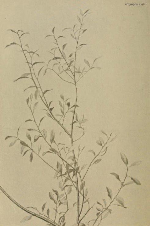 i61-goat-willow-leaves.JPG