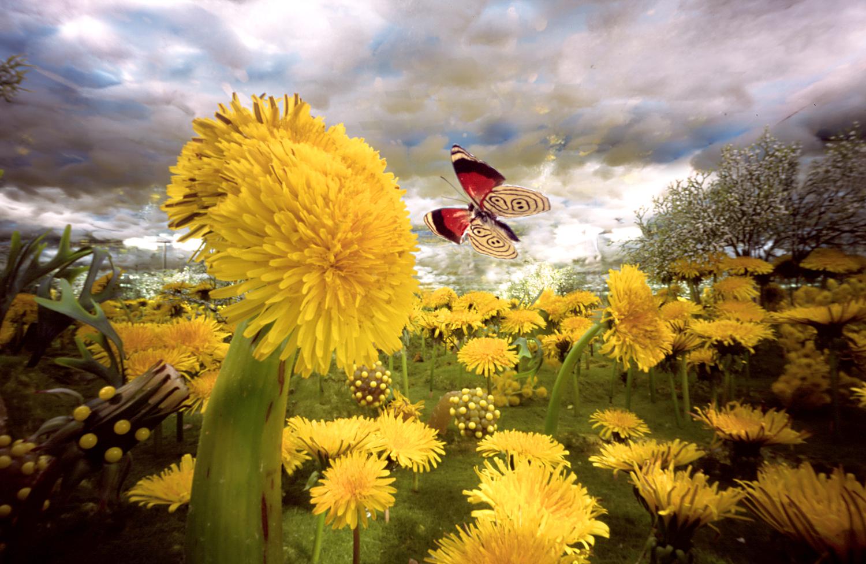 Paardebloemveld met kringvlinder