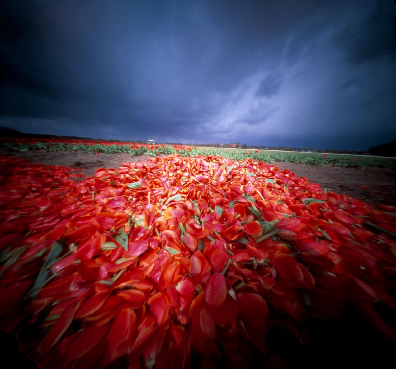 rode tulpenblaadjes.jpg