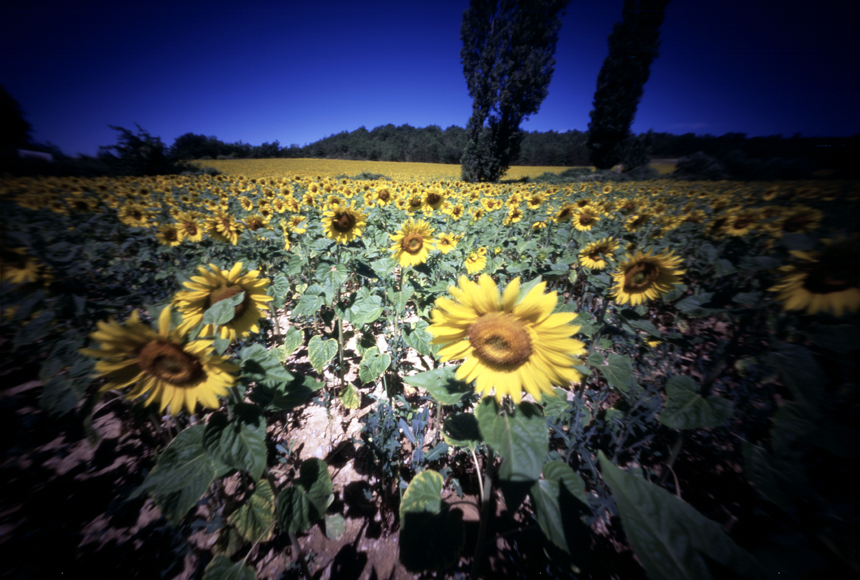 zonnebloemen 2.jpg