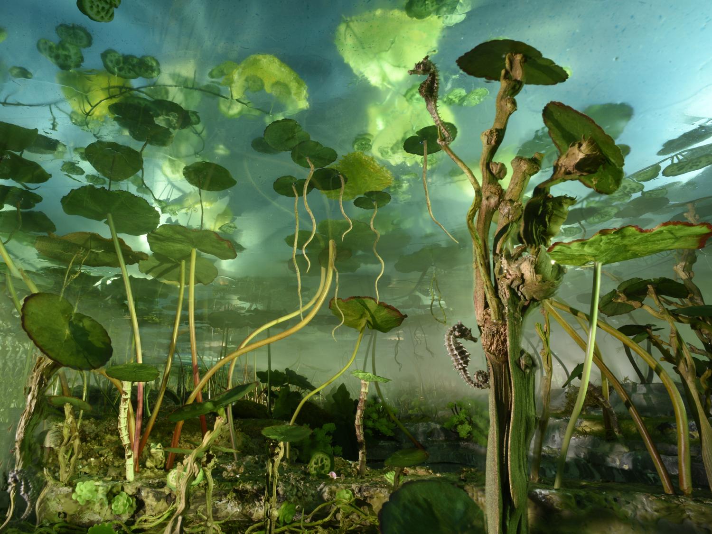 Waterlilie Seahorses