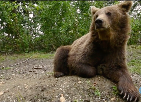 In 1998 a Romanian woman, Cristina Lapis, saw 3 bears in a small cage outside a restaurant in central Romania where they were used to attract customers. She later found more bears used in a similar way in other areas of the country. Her dream was to rescue these distressed animals and to change public attitudes to stop this cruel and illegal exploitation of one of Romania's magnificent native animals.  Now that dream is being realised, with over 70 bears enjoying a new life in the Libearty Bear Sanctuary – 70 hectares of oak and hazel forest in the Carpathian Mountains above the Transylvanian town of Zarnesti.   Read More…